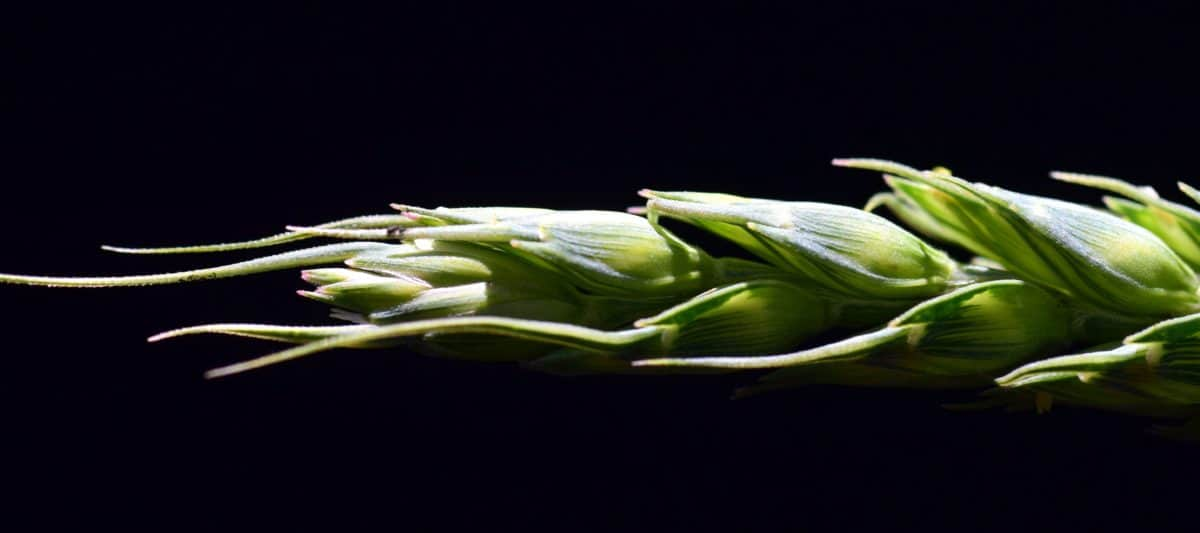 food, agriculture, flora, vegetable, plant, cereal, plant