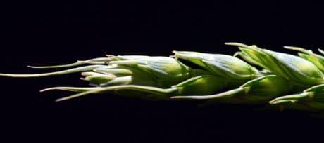 cibo, agricoltura, flora, verdura, vegetali, cereali, pianta