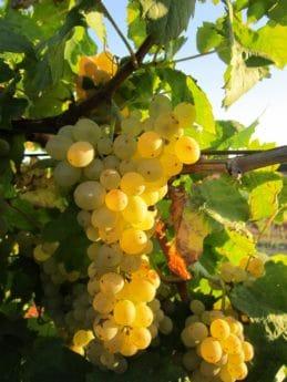 folha, agricultura, fruta, videira, vinhedo, natureza