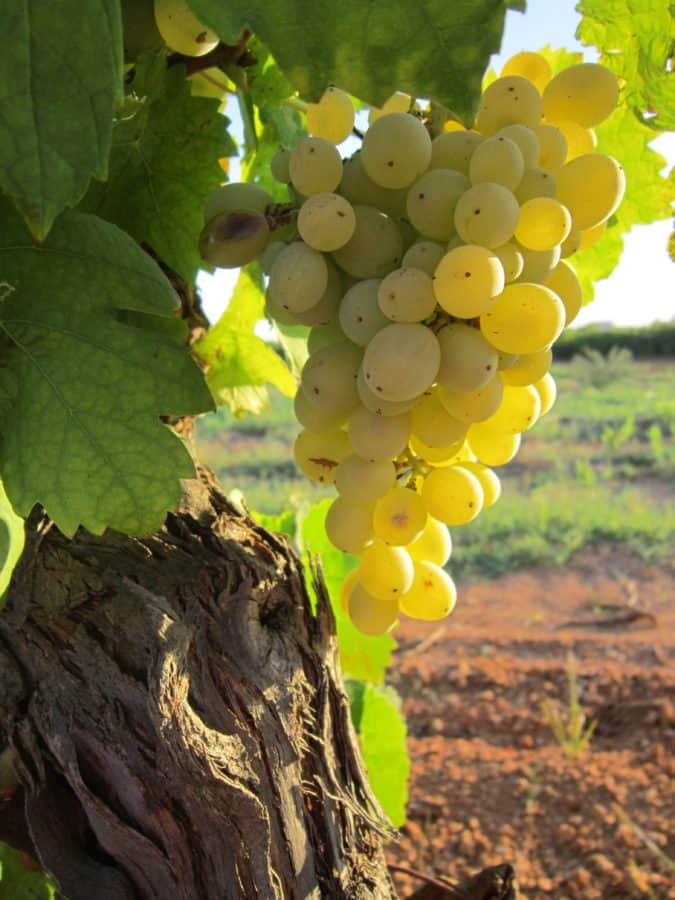 vineyard, agriculture, leaf, fruit, nature, grapevine