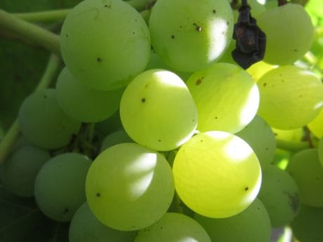 nature, vigne, aliments, fruits, viticulture, vignoble