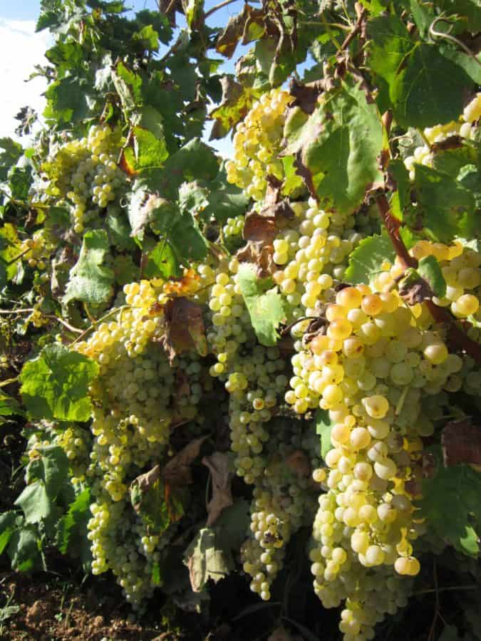 fruits, agriculture, viticulture, vignoble, organique