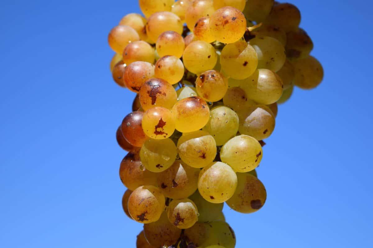 Viña, agricultura, fruta, otoño, orgánica