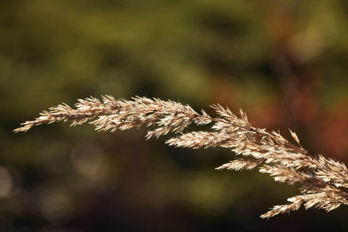 giunchi, natura, erba, pianta, autunno, luce naturale, all'aperto
