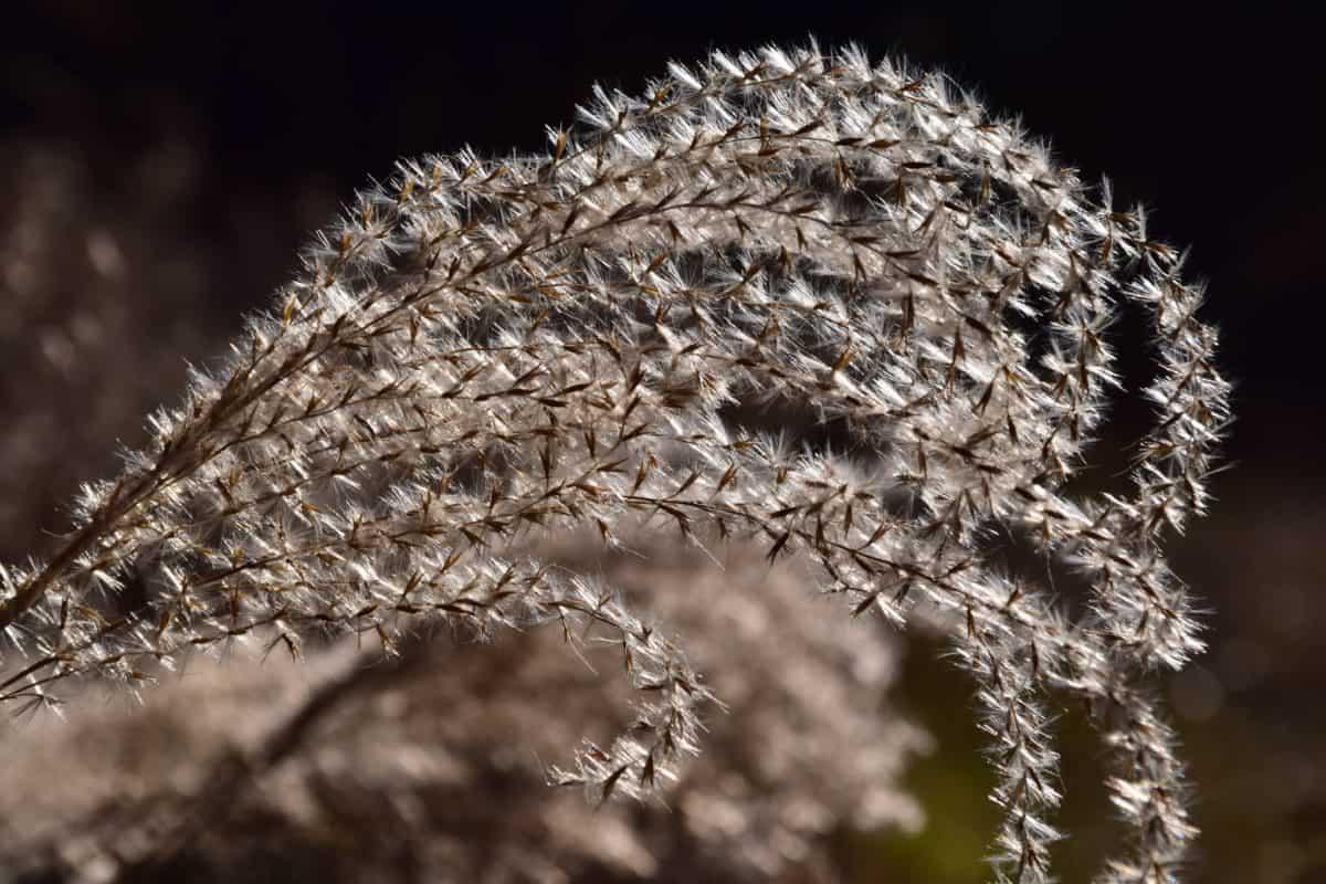 pianta, ramo, macro, luce diurna, giunchi, natura, flora, seme