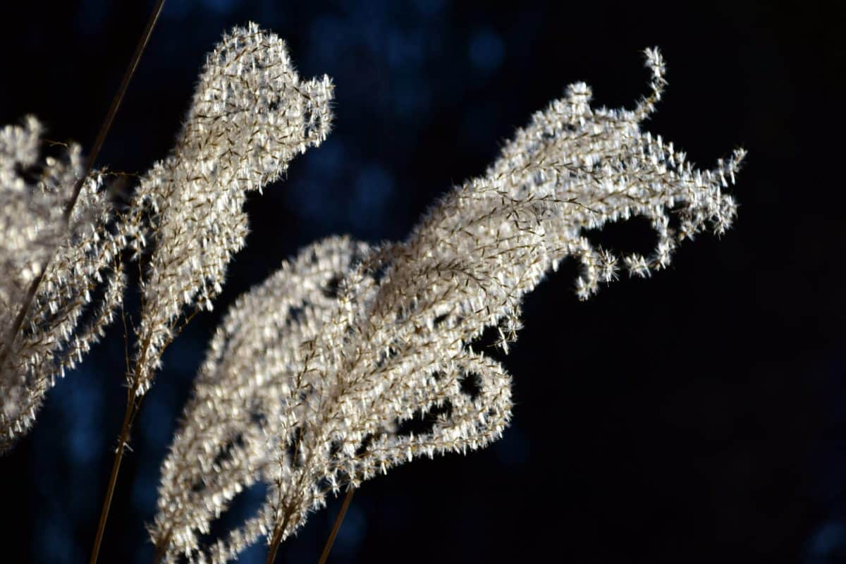 flora, seed, plant, branch, reed grass, nature, outdoor