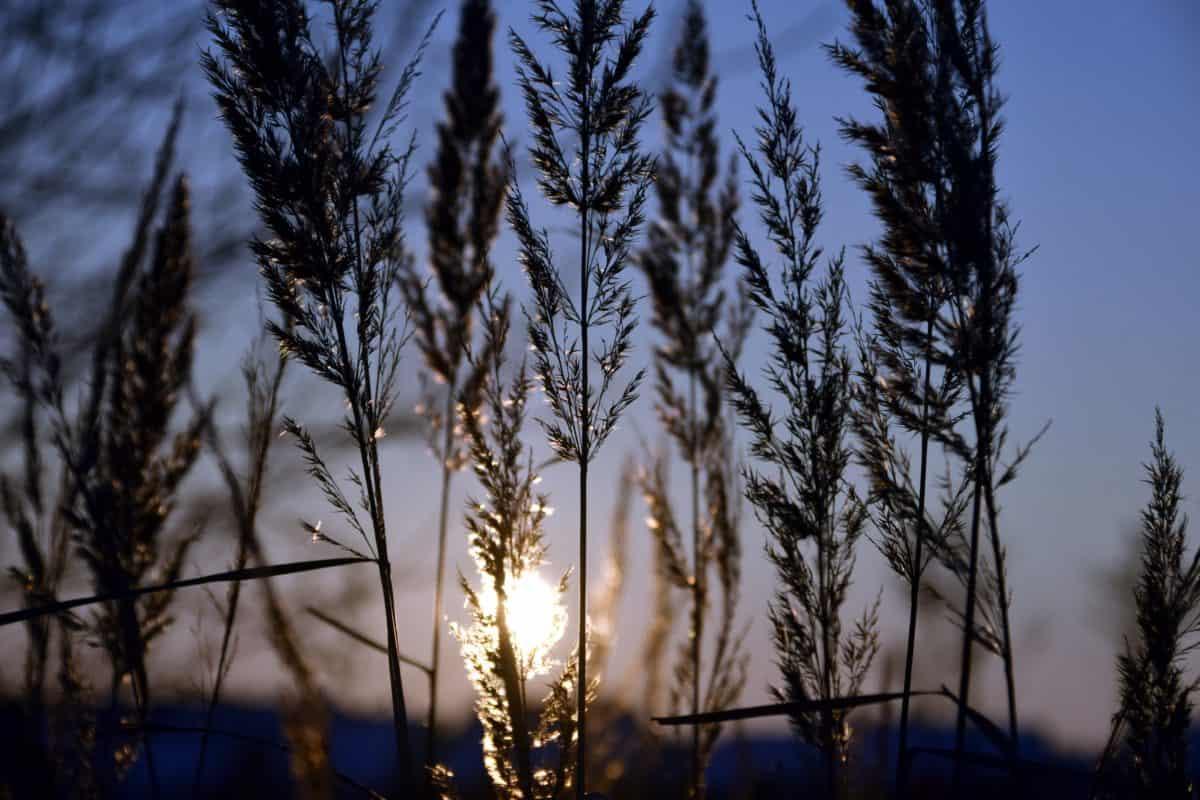 coucher du soleil, coucher du soleil, ombre, plante, nature, roseau, paysage