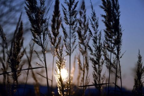 nature, sunset, sunset, shadow, plant, reed grass, landscape