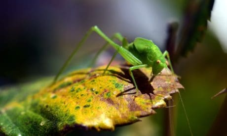 nature, grasshopper, insect, macro, leaf, arthropod, garden
