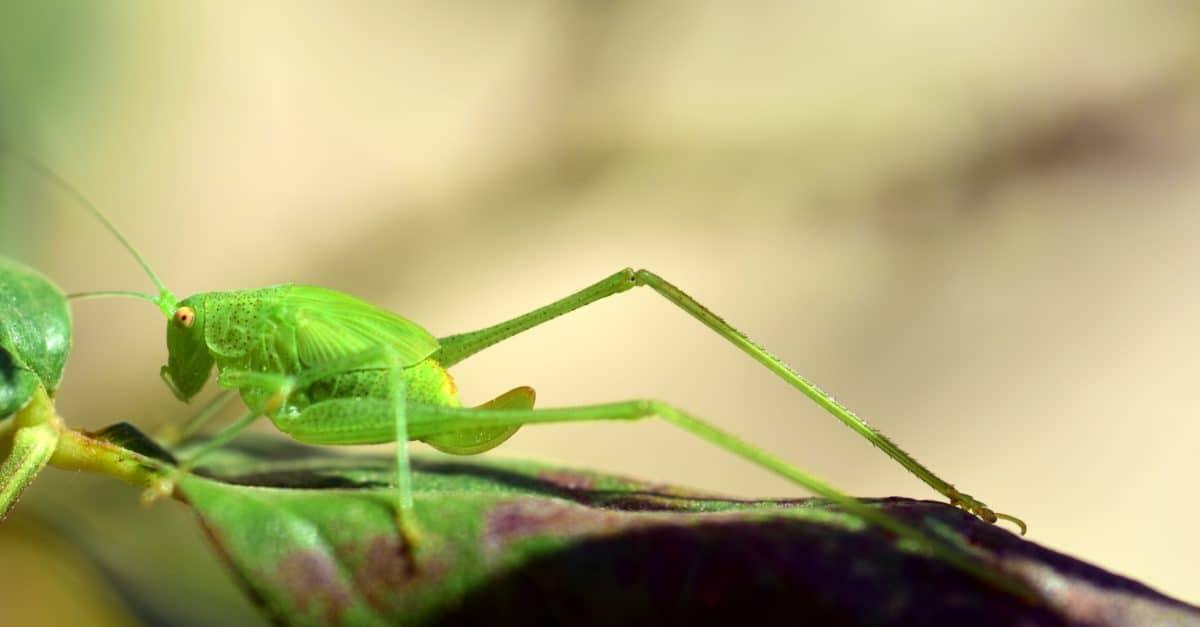 Heuschrecke, Natur, Wirbellosen, Insekten, Tiere