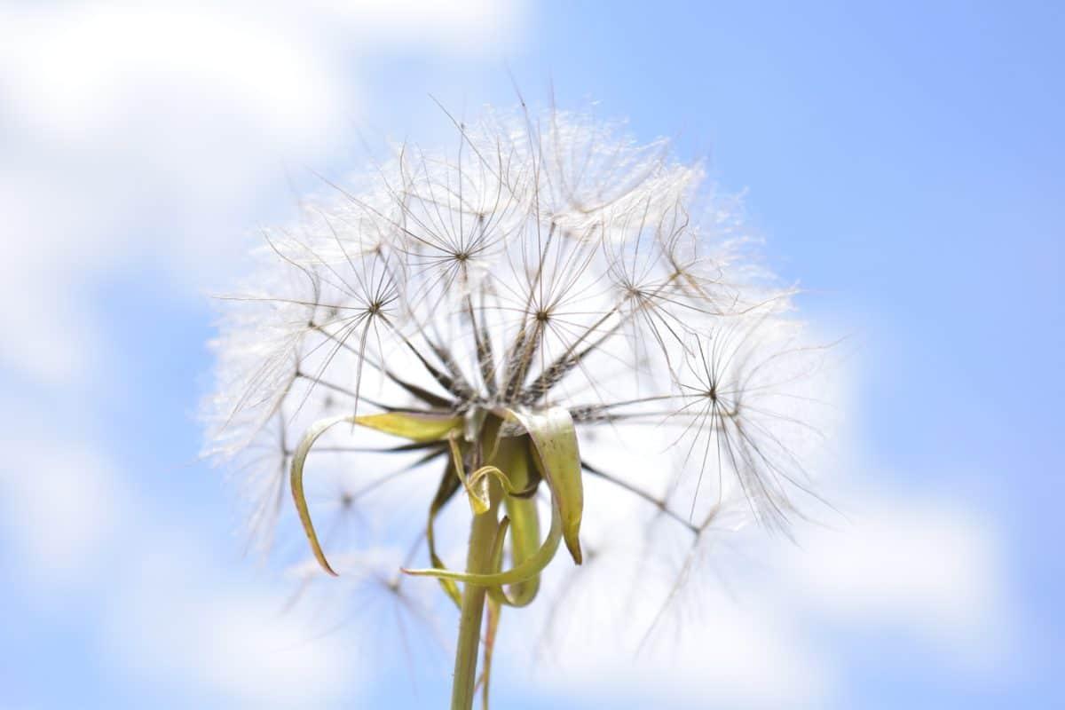 summer, nature, flora, dandelion, herb, plant, blue, sky