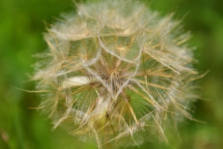 seed, summer, grass, flower, dandelion, flora, nature, plant