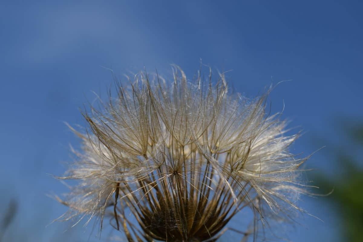 민들레, 꽃, 푸른 하늘, 여름, 식물, 자연, 식물, 매크로