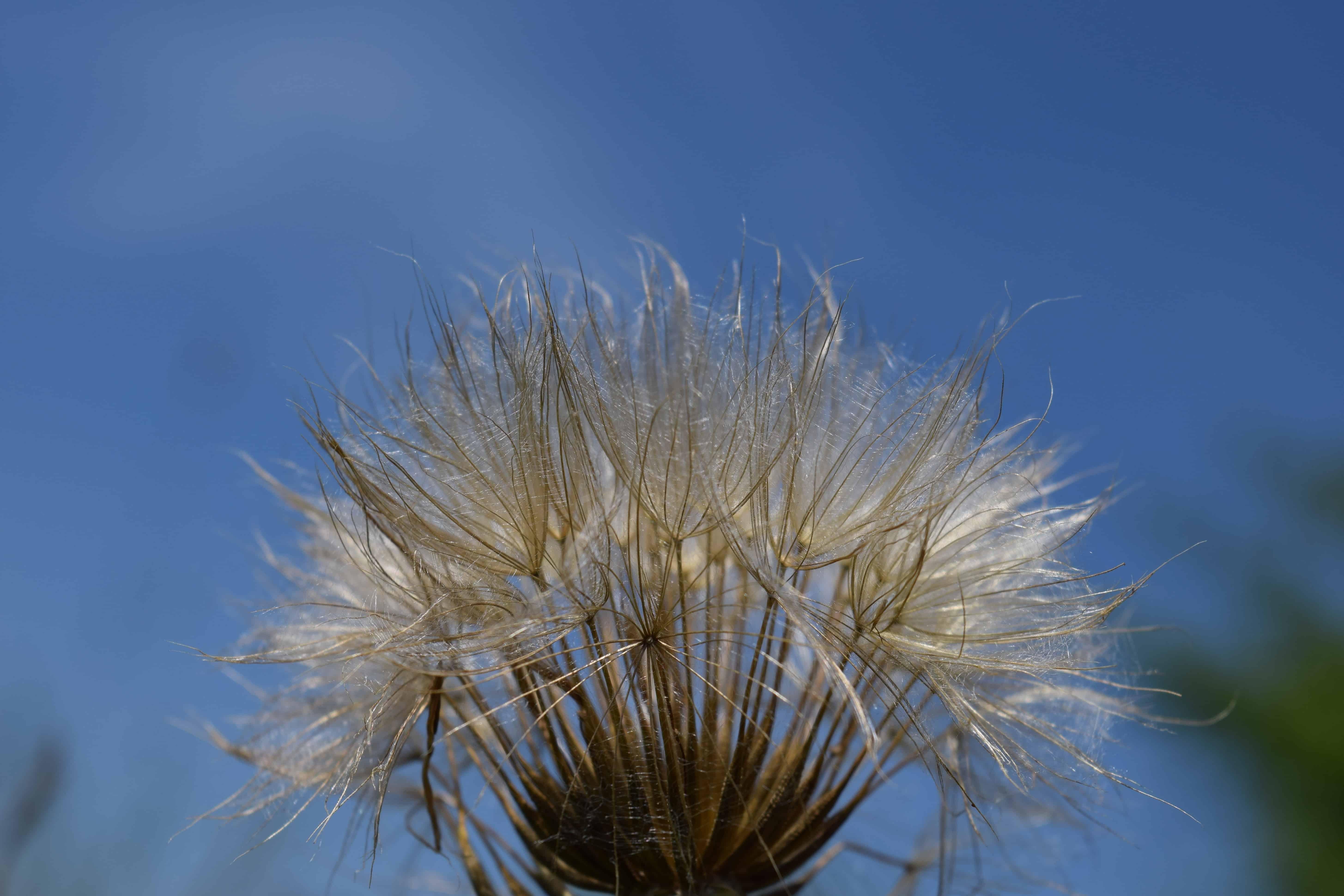 free picture: dandelion, flower, blue sky, summer, flora, nature