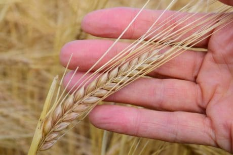 agriculture, agriculture, food, flour, seed, hand, finger, outdoor