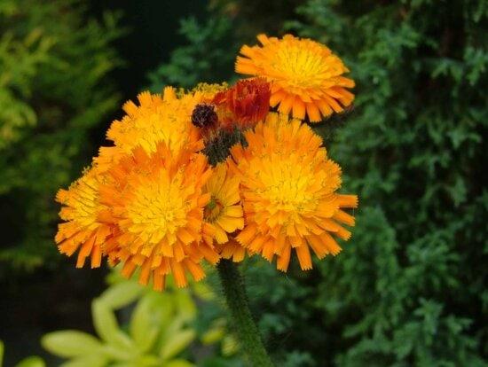 Garten, Makro, Tageslicht, Sommer, Blume, Natur, Flora, Kraut, Pflanze, Blüte
