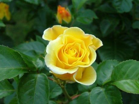germoglio di fiore, macro, luce diurna, petalo, foglia, flora, wildflower, rosa selvatica, natura