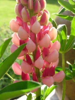 fiore, estate, flora, luce, natura, giardino, foglia, pianta, fiore