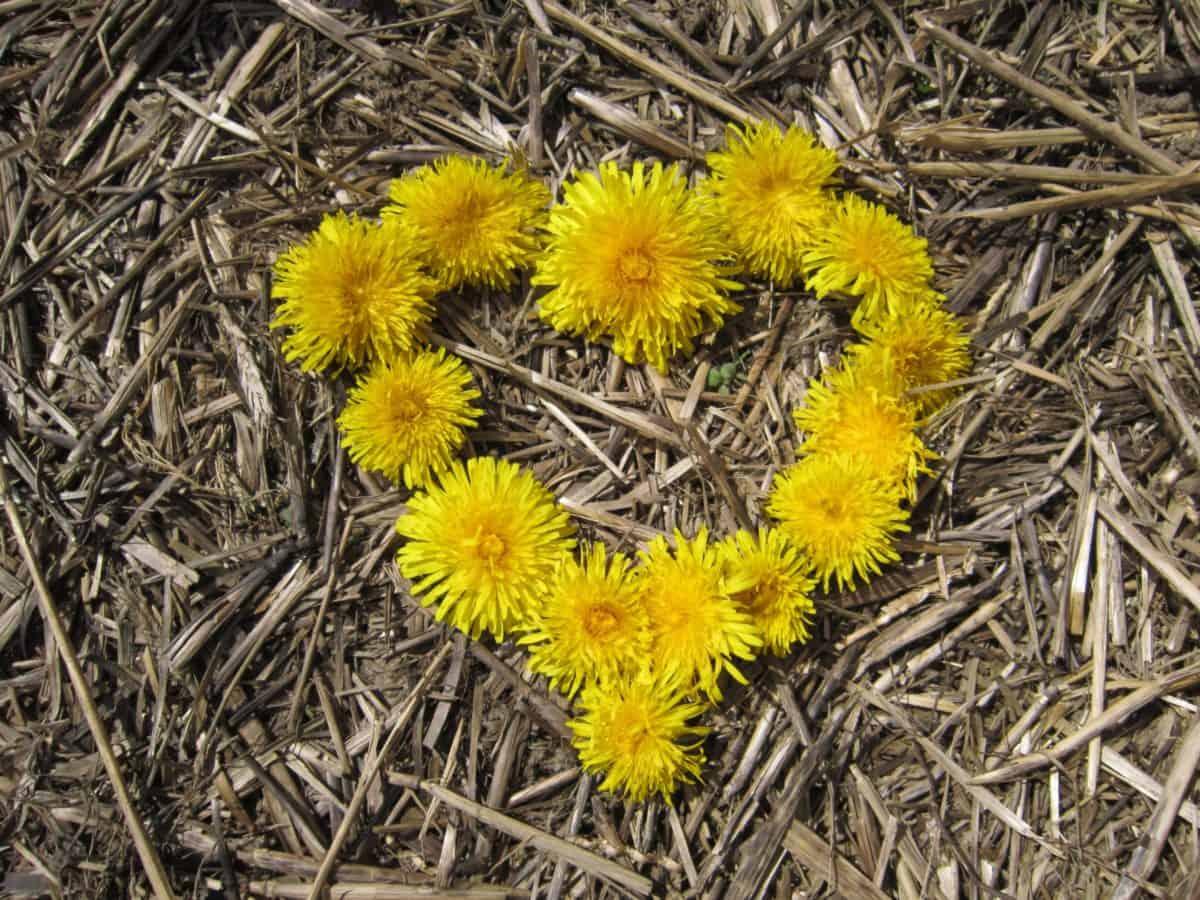 pissenlit, fleur, paille, coeur, plante, nature
