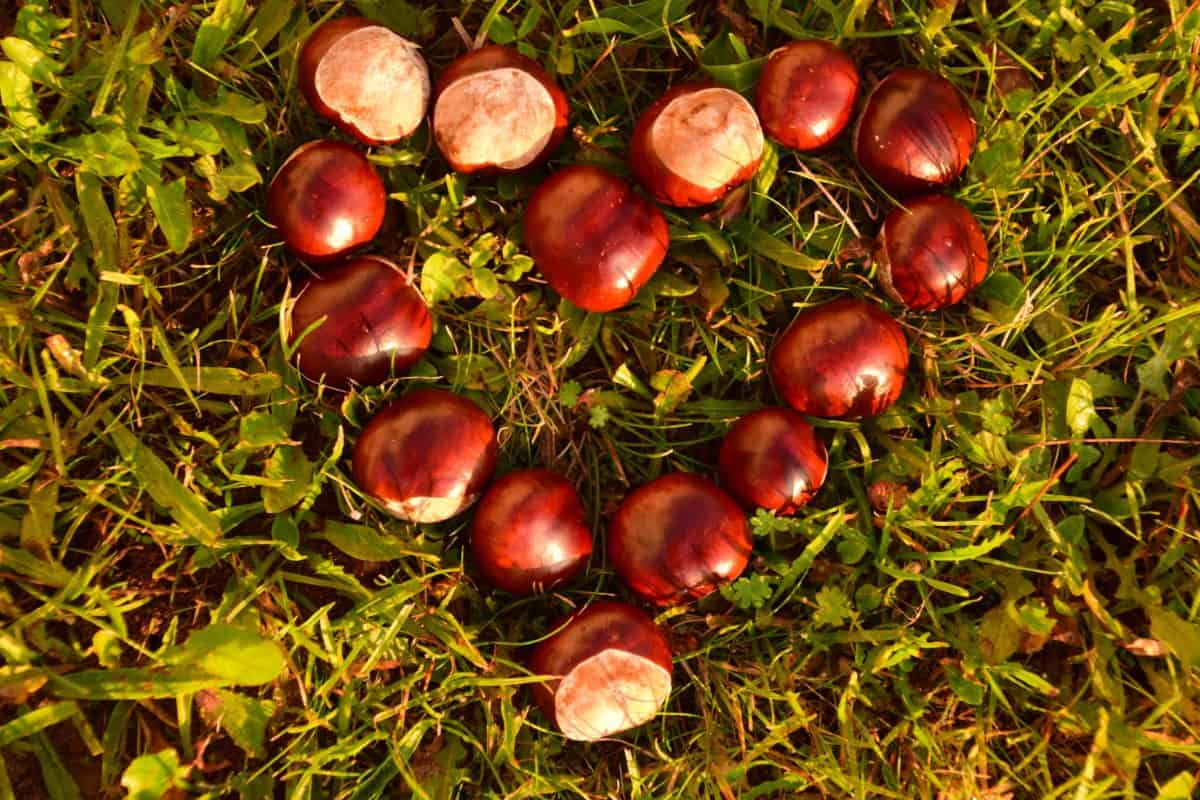 love, heart, leaf, nature, seed, chestnut, grass, outdoor