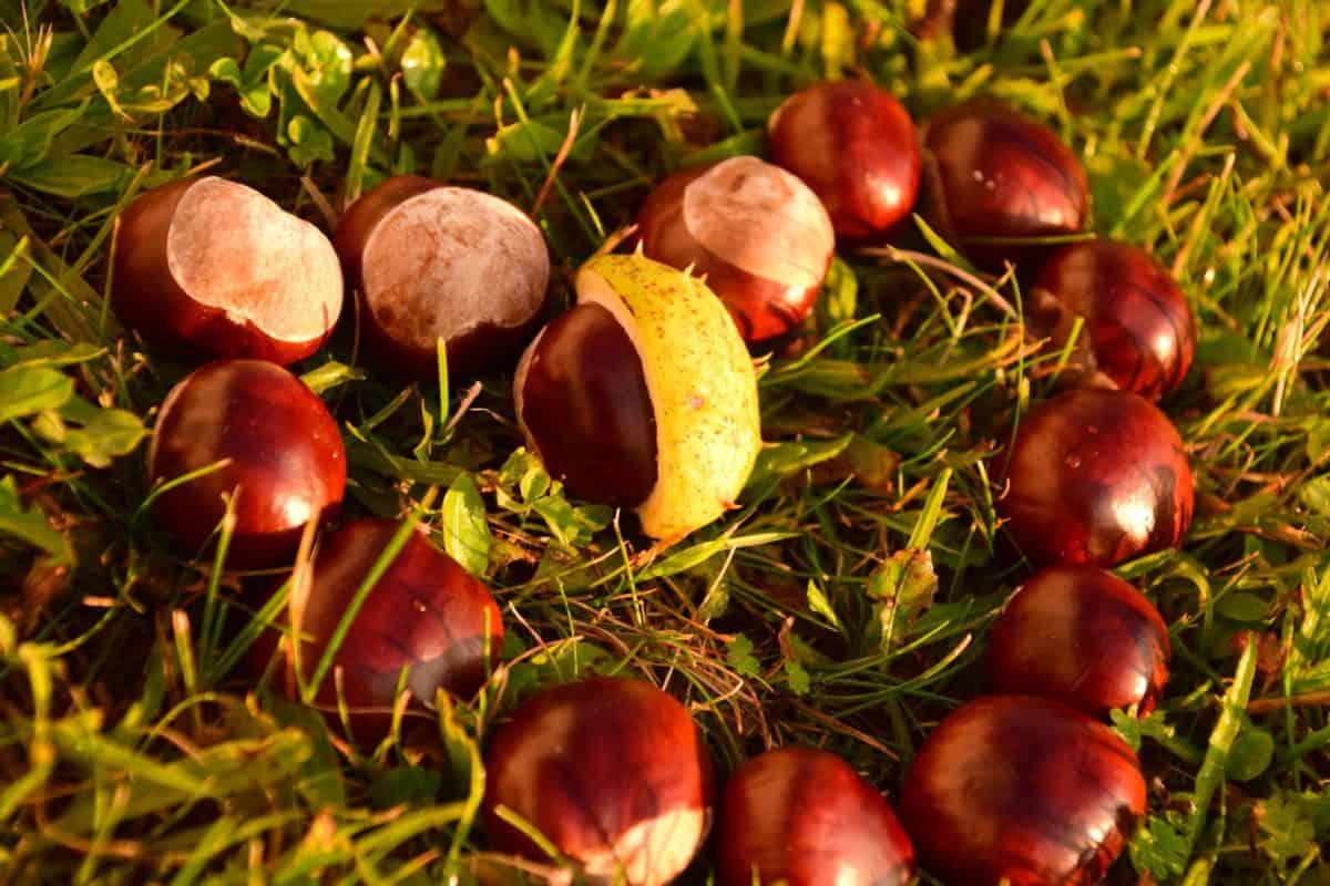 Natur, Blatt, Baum, Kastanie, Rasen, Samen, Herbst