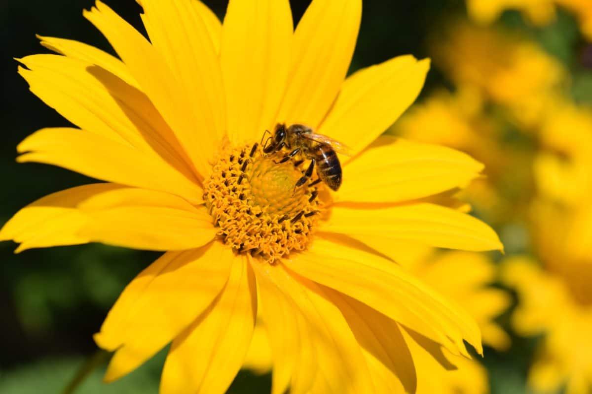 méh, makró, virág, növény, szirom, daisy, nyári, növény, virág