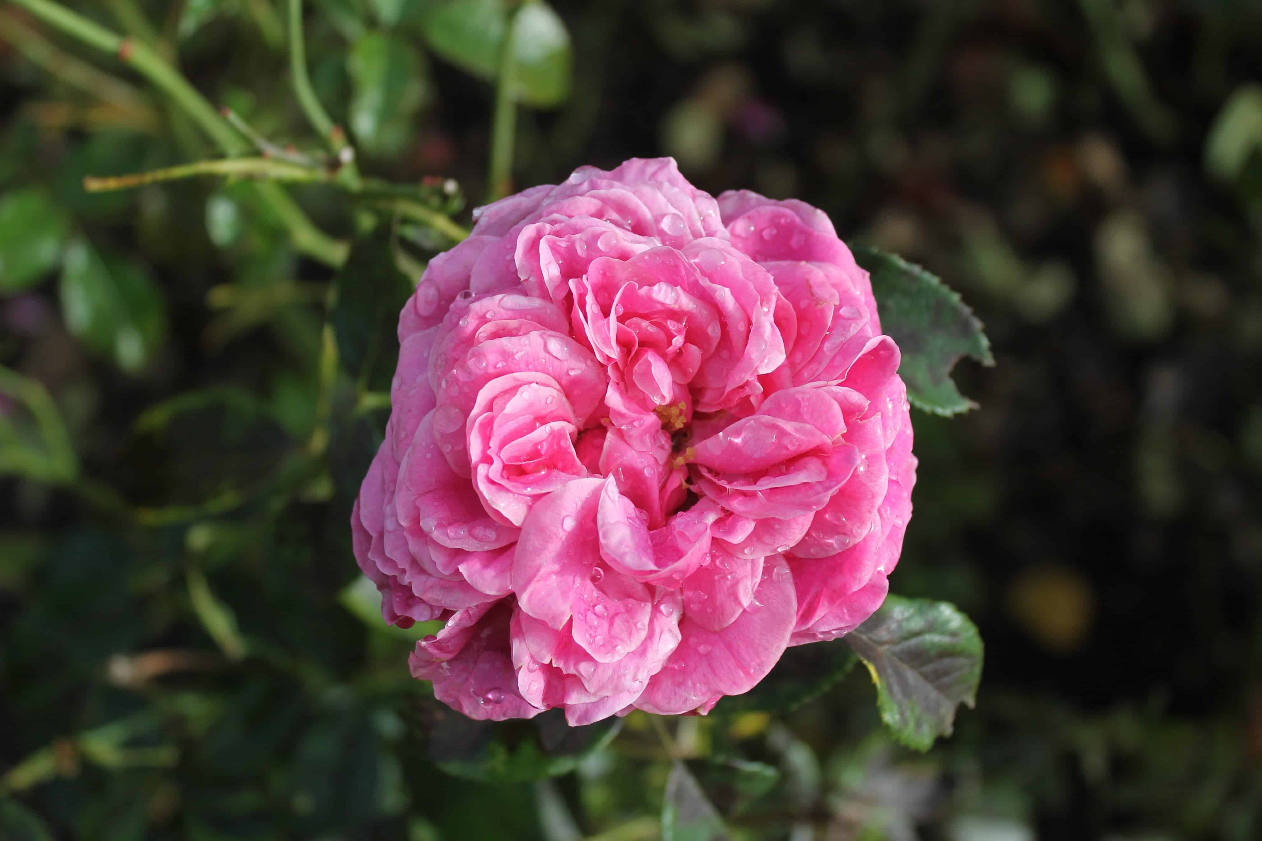 Free Picture Green Leaf Garden Petal Nature Flora Wild Flower Rose Plant Pink