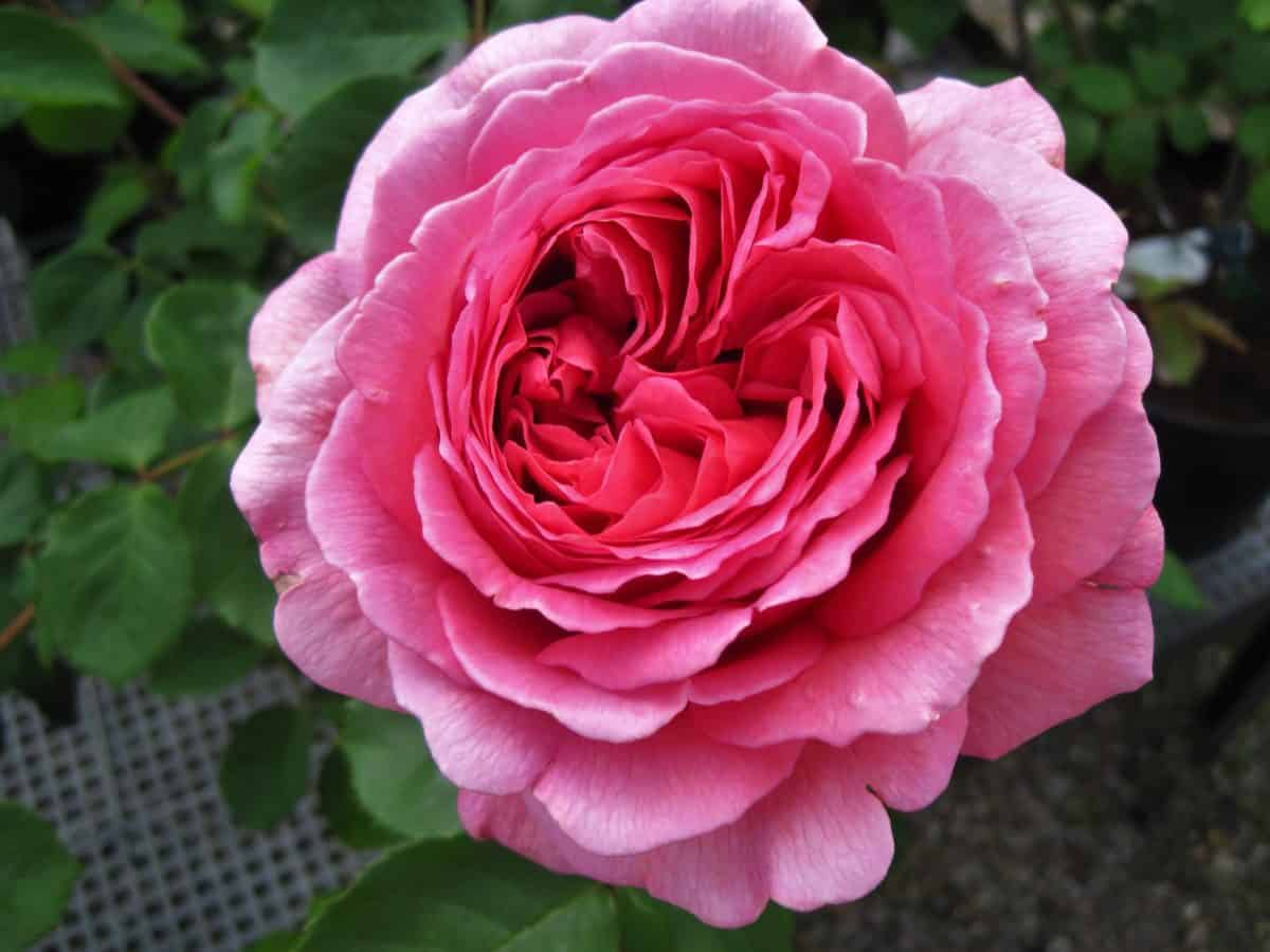 rosa, Pétalo, flor, flora, hoja, naturaleza, macro, planta al aire libre,
