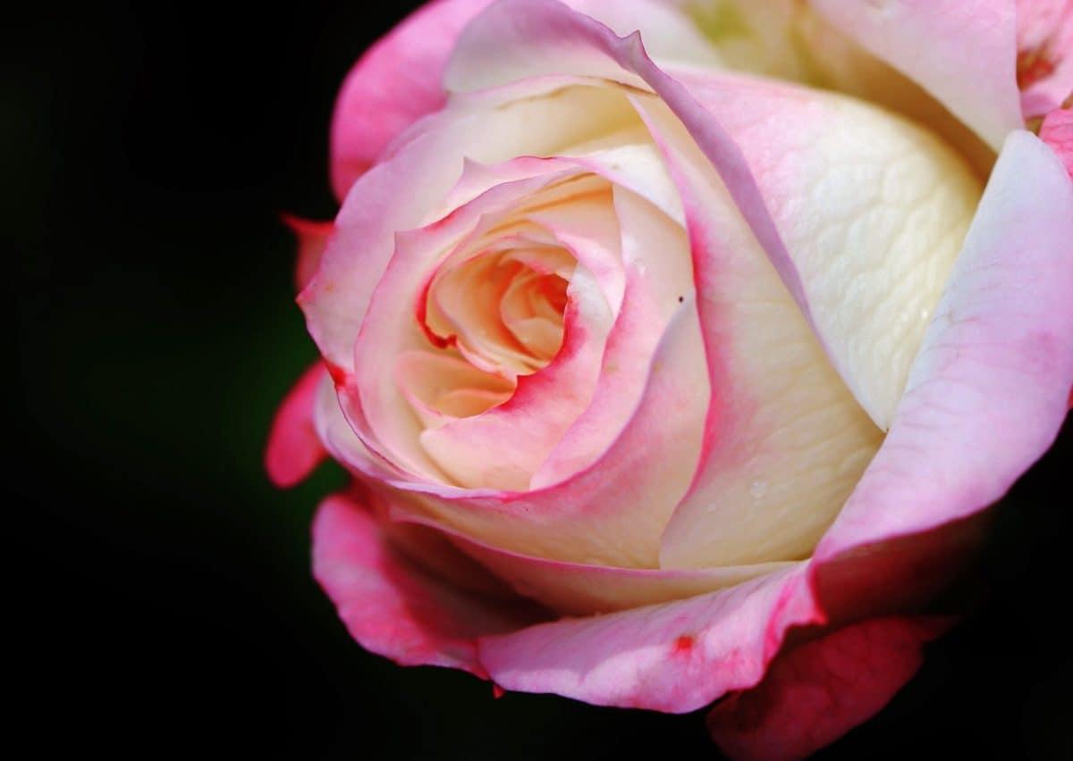 nature, bouton floral, fleur de jardin, plantes, flore, rose, pétale, rose sauvage