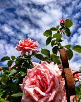 여름, 원 예, 식물, 자연, 꽃, 꽃잎, 와일드 로즈, 잎, 식물, 꽃