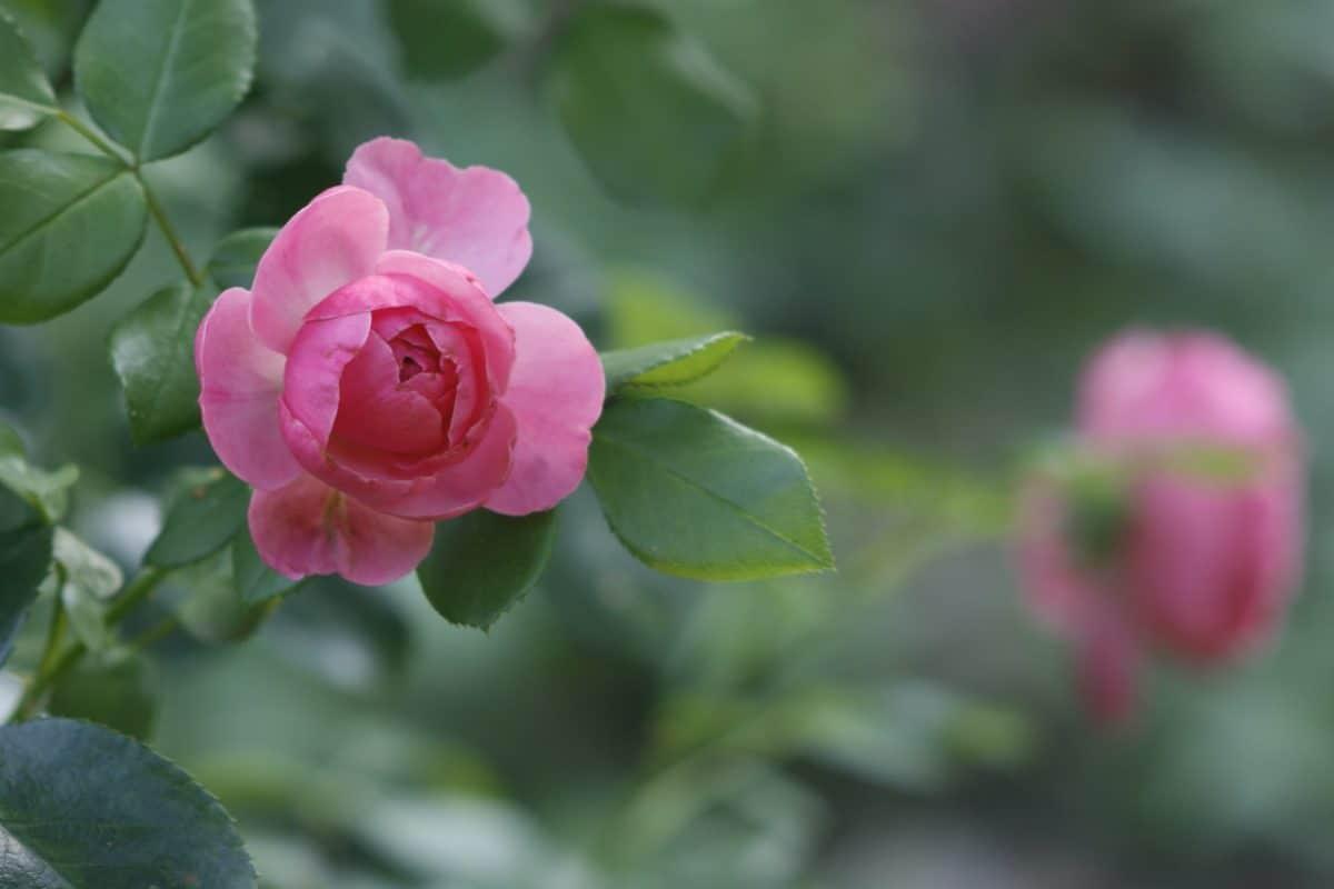 Natura, lato, ogrodnictwo, Płatek, liść, flora, róża, ogród, Dziki kwiat