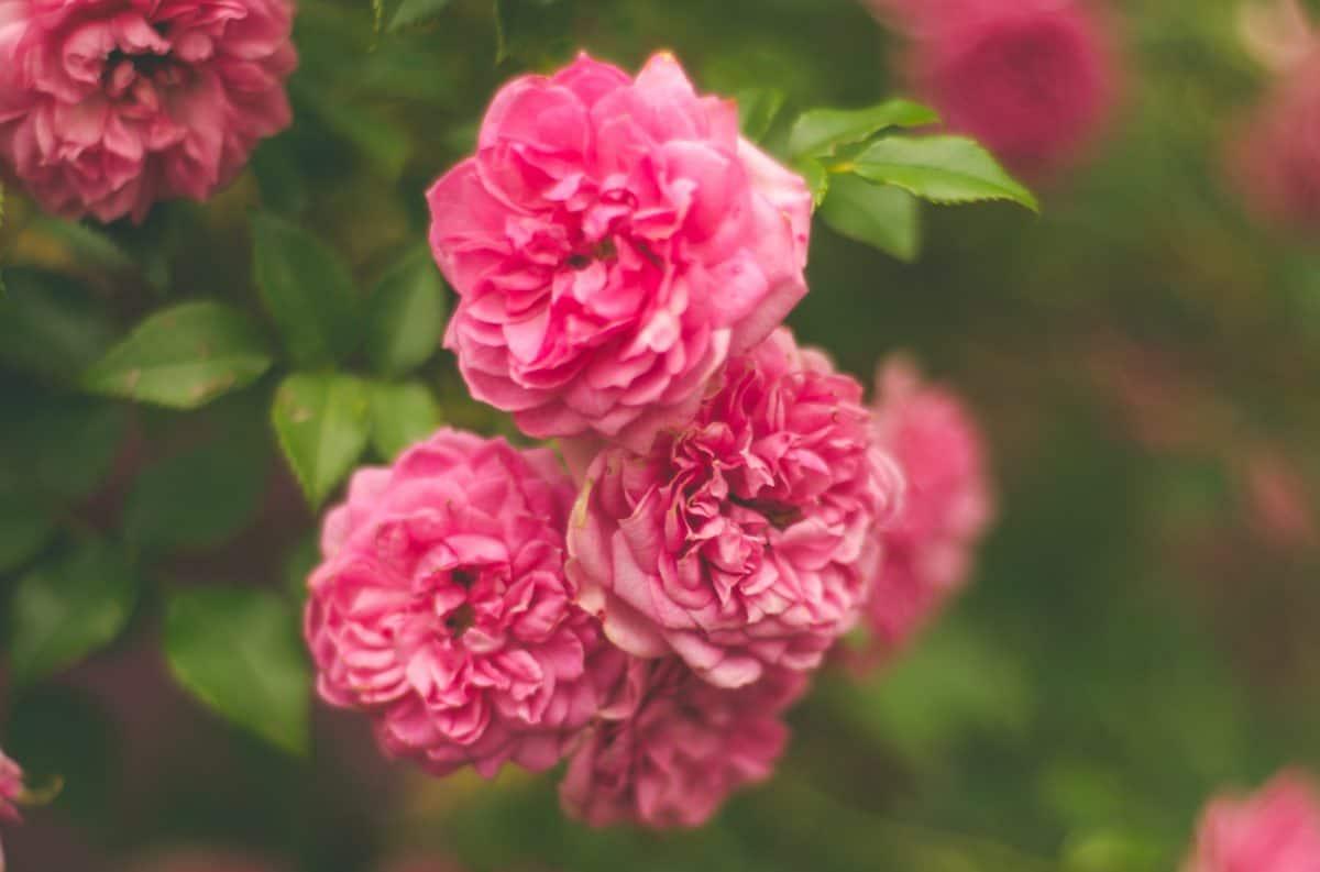 flore, feuille, l'été, nature, rose, fleurs sauvages, pétale, jardin