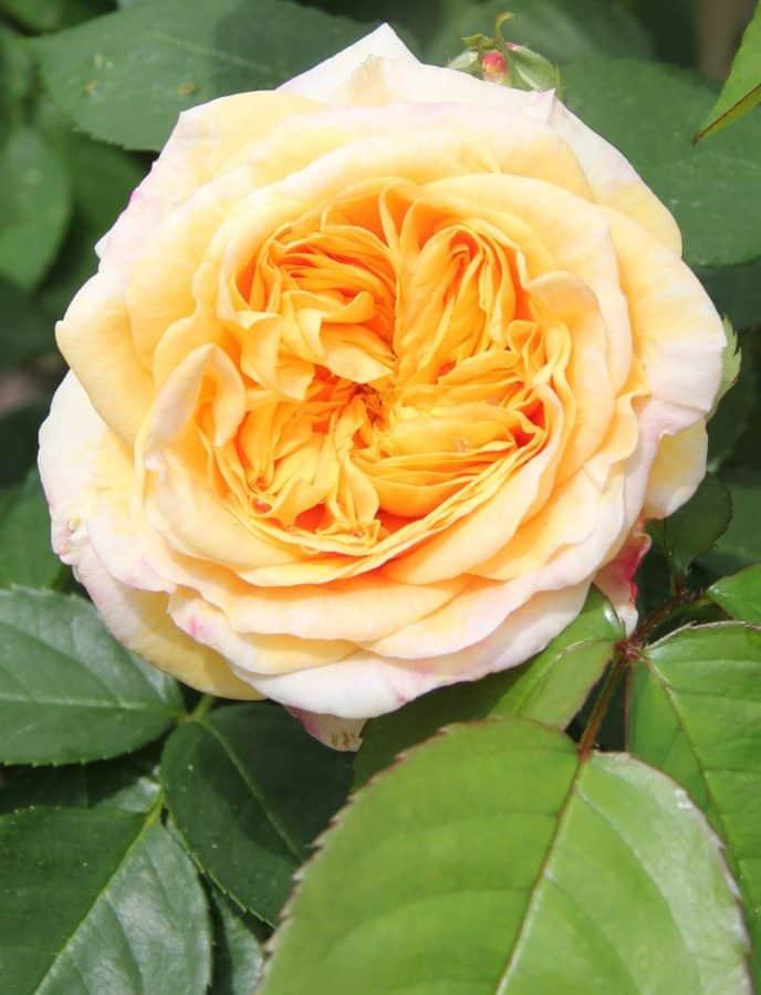 horticultura, rosal silvestre, flora, Pétalo, hoja, flor, naturaleza, planta, rosa, flor de