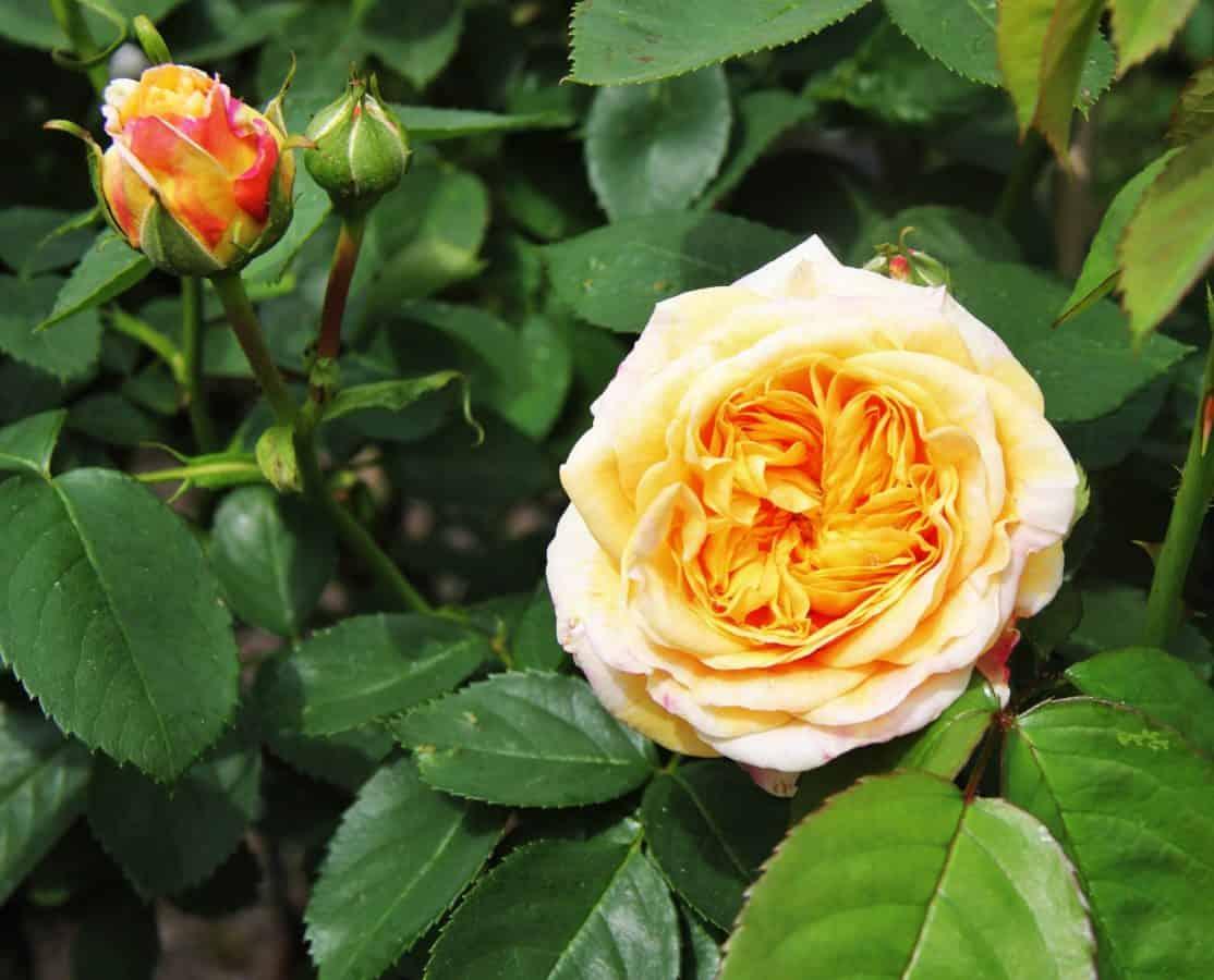 Blume, Rose, Gartenbau, Blatt, Natur, Flora, Blütenblatt, Pflanze, Blüte