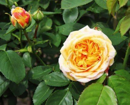flower, rose, horticulture, leaf, nature, flora, petal, plant, blossom