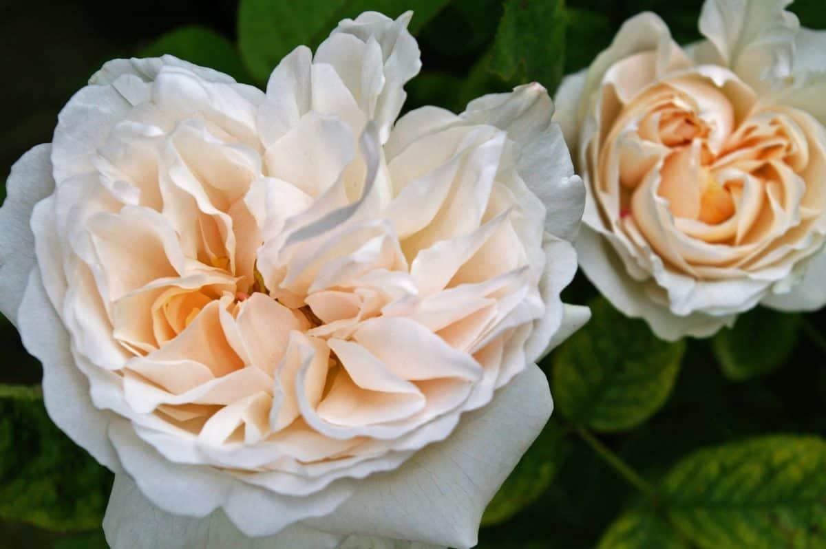 nature, leaf, petal, rose, wild flower, flora, plant, garden, horticulture, blossom