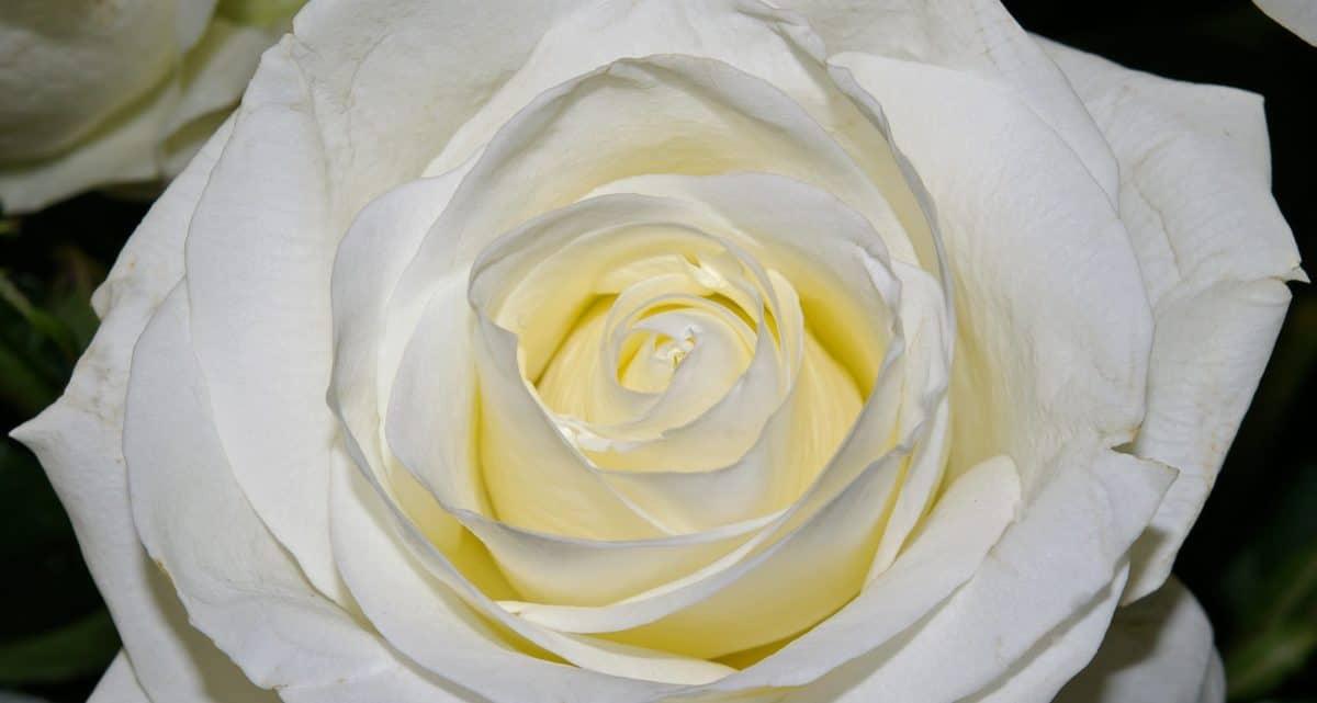 fleur blanche, pastel, wild rose, pétale, blanc, plante, macro
