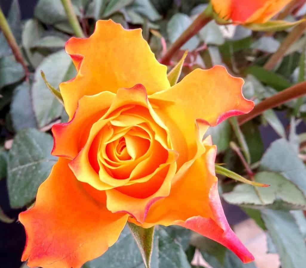 fiore, orticoltura, macro, natura, foglia, petalo, flora, giardino, rosa, pianta, fiore