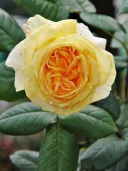 flower, rose, petal, leaf, flora, plant, blossom, horticulture, outdoor