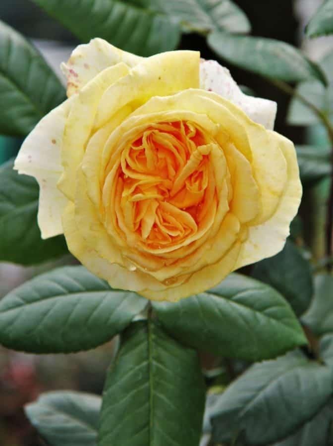 fiore, rosa, petalo, foglia, flora, pianta, fiore, orticoltura, all'aperto