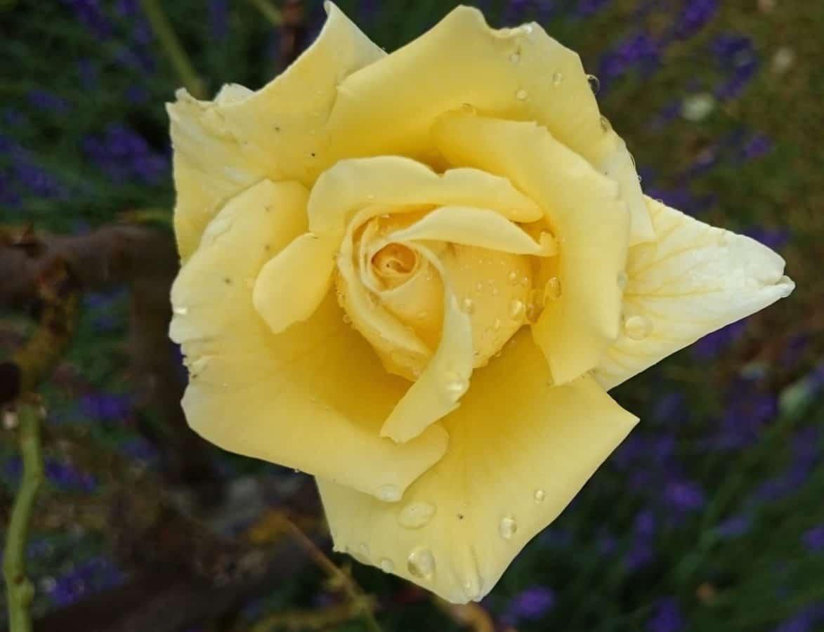 sadepisara, kaste, kukka, terälehti, flora, lehtiä, luonnosta, wild rose, kasvi