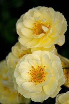 pétale, feuille, fleur, flore, horticulture, nature, rose, plante, fleur