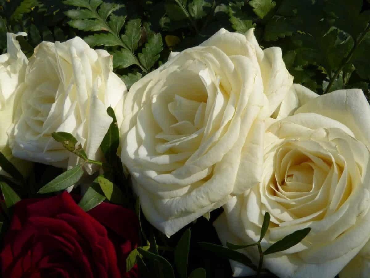 Rosas, ramo, Pétalo, flor blanca, arreglo, pétalos, flor