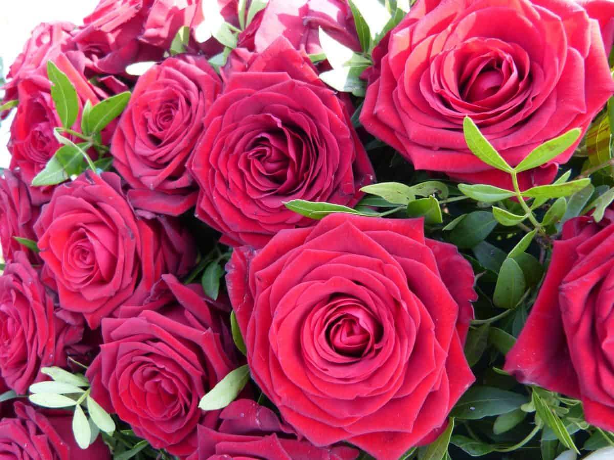 rose, flower, flora, bouquet, petal, arrangement, blossom, red flower