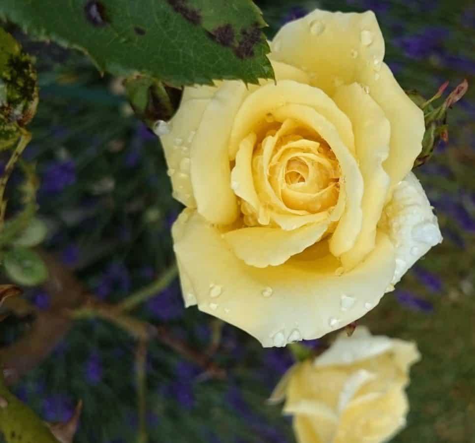 fleur, pétale, rose, nature, horticulture, feuille, flore, plante, rosée