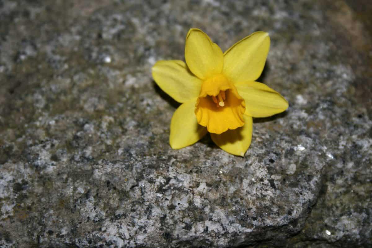 Narzisse, Stein, Stempel, Pflanze, Natur, Blume