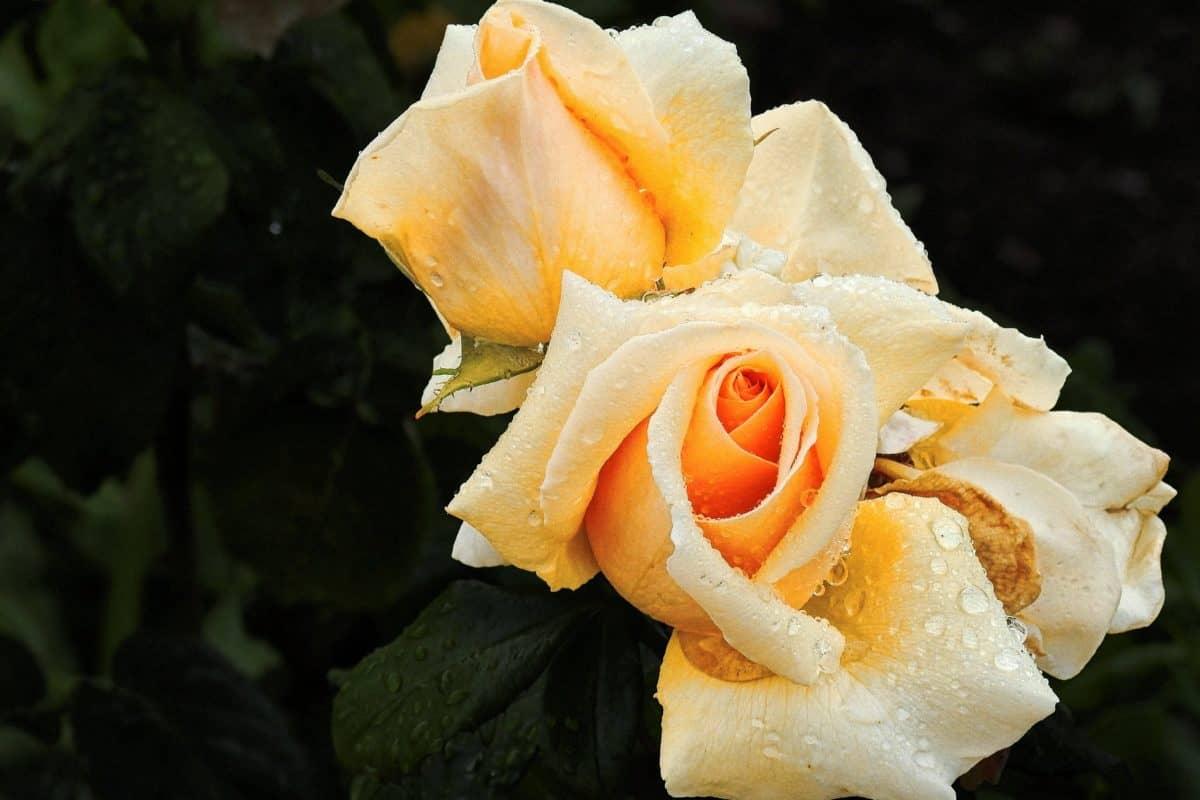 leaf, wild rose, moisture, macro, flower, plant, petal, dew, raindrop