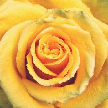 pastel, fleur, rose, macro, détail, pétale, plante, pétale, horticulture, fleur