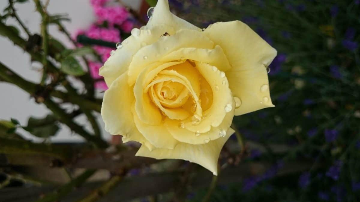 fleur, rose, pétale, nature, feuilles, plantes, flore, fleur