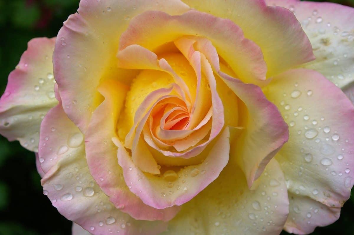 goccia di pioggia, fiore, petalo, rugiada, natura, foglia, rosa, pianta, rosa, dettaglio